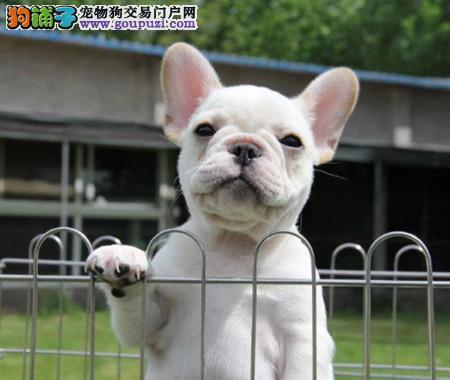 可爱萌宠法斗幼犬、奶油色纯种斗牛犬、实地挑选3