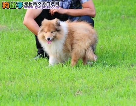 正规犬舍繁殖 赛级品质 纯种苏格兰牧羊犬幼犬出售