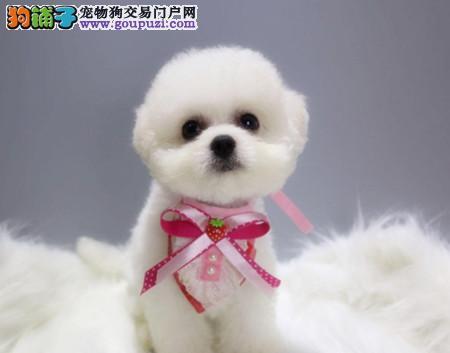 正规犬舍繁殖 赛级品质 纯种比熊幼犬出售