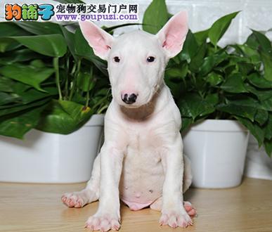 正规犬舍繁殖 赛级品质 纯种牛头梗幼犬出售