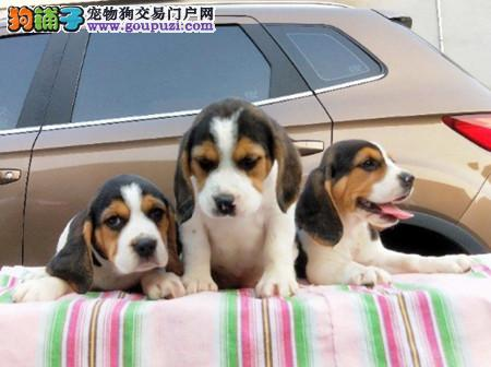 正规犬舍繁殖 赛级品质 纯种米格鲁比格幼犬出售1
