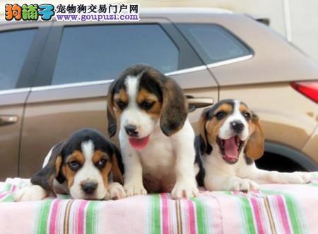 正规犬舍繁殖 赛级品质 纯种米格鲁比格幼犬出售2