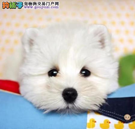 正规犬舍繁殖 赛级品质 纯种西高地白梗幼犬出售