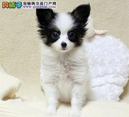 正规犬舍繁殖 赛级品质 纯种蝴蝶犬幼犬出售