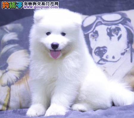 正规犬舍繁殖 赛级品质 纯种萨摩耶幼犬出售