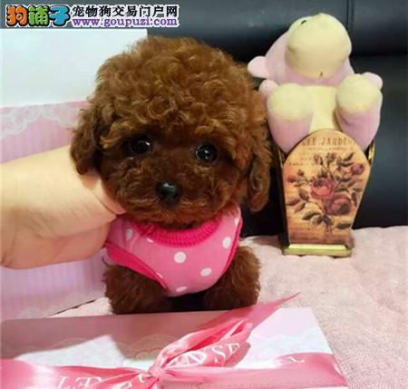 经典小泰迪 北京地区可免费送货上门 欢迎来看狗1