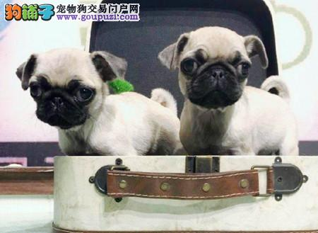 正规犬舍繁殖 赛级品质 纯种巴哥幼犬出售