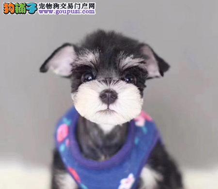 北京犬舍出售迷你黑银雪纳瑞幼犬、给宝宝找新家啦