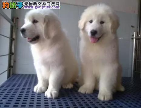 专业犬舍繁殖精品大白熊幼犬CKU认证绝对信誉