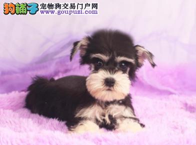 专业犬舍繁殖精品雪纳瑞幼犬CKU认证绝对信誉