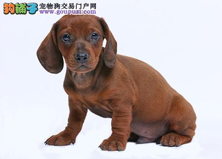 专业犬舍繁殖精品腊肠幼犬CKU认证绝对信誉1