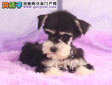 专业犬舍繁殖精品雪纳瑞幼犬CKU认证绝对信誉3