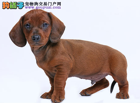 专业犬舍繁殖精品腊肠幼犬CKU认证绝对信誉3