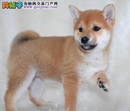 专业犬舍繁殖精品柴犬幼犬CKU认证绝对信誉3
