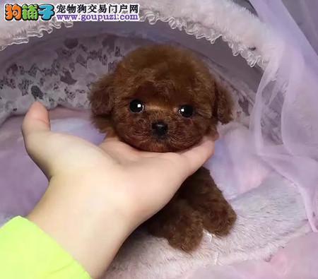 专业犬舍培育泰迪宝宝 想拥有高品质泰迪就来找我吧