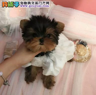 专业犬舍繁殖精品约克夏幼犬CKU认证绝对信誉