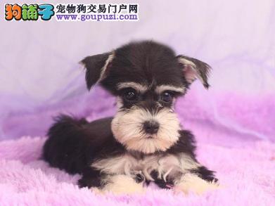 专业犬舍繁殖精品雪纳瑞幼犬CKU认证绝对信誉1