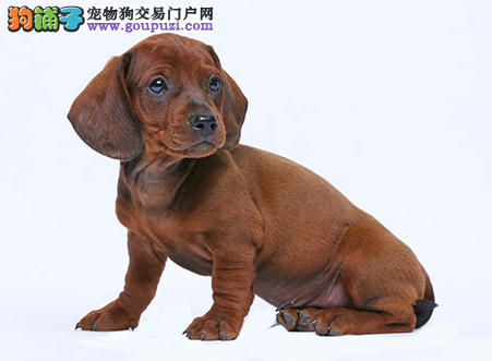 专业犬舍繁殖精品腊肠幼犬CKU认证绝对信誉2
