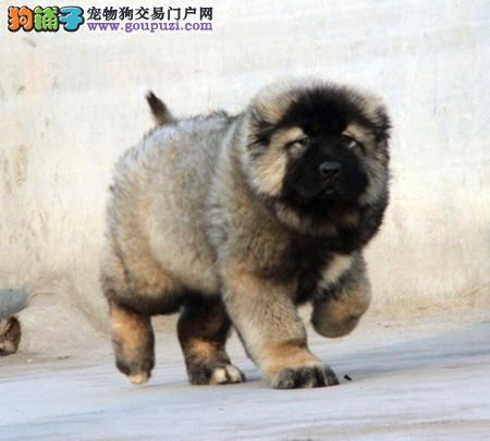 专业犬舍繁殖精品高加索幼犬CKU认证绝对信誉