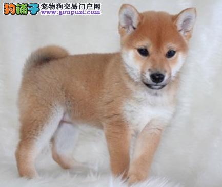 专业犬舍繁殖精品柴犬幼犬CKU认证绝对信誉1