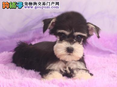 专业犬舍繁殖精品雪纳瑞幼犬CKU认证绝对信誉2