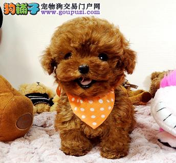 专业犬舍繁殖精品泰迪幼犬CKU认证绝对信誉