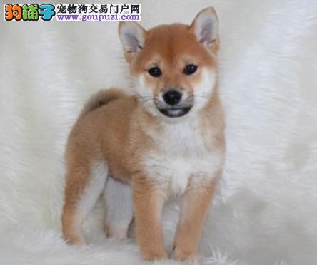 专业犬舍繁殖精品柴犬幼犬CKU认证绝对信誉