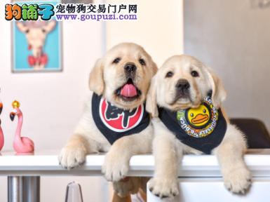 专业犬舍繁殖精品拉布拉多幼犬CKU认证绝对信誉