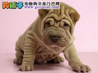 顶级 沙皮。犬舍直销、让顾客买的优惠放心和纯种。