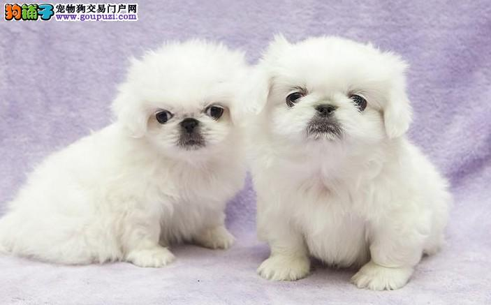 顶级 京巴。犬舍直销、让顾客买的放心和纯种。