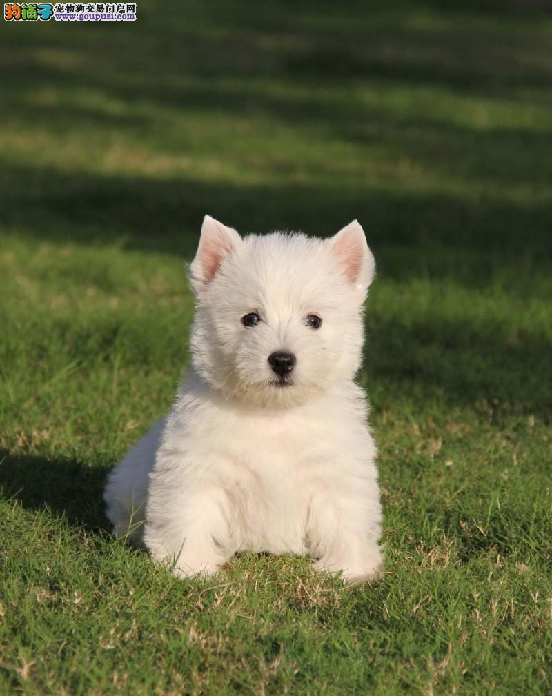 可爱聪慧小型犬 纯种西高地梗犬出售