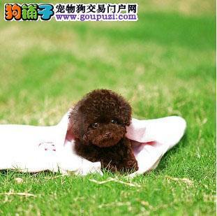 CKU认证犬业专业繁殖小泰迪宝宝 质量保障。1
