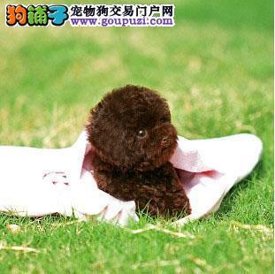 CKU认证犬业专业繁殖小泰迪宝宝 质量保障。2