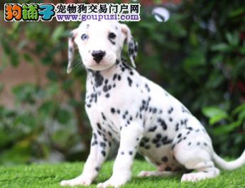自家直销斑点犬宝宝/CKU认证品质绝对保证2