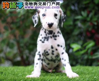 自家直销斑点犬宝宝/CKU认证品质绝对保证1