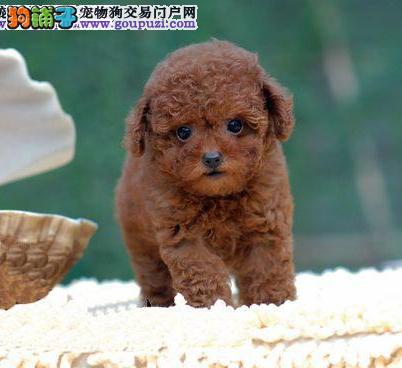 CKU认证犬业专业繁殖小泰迪宝宝 质量保障。3