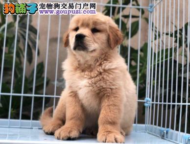 极品、美系,英系金毛犬在这里、优惠纯种和健康。