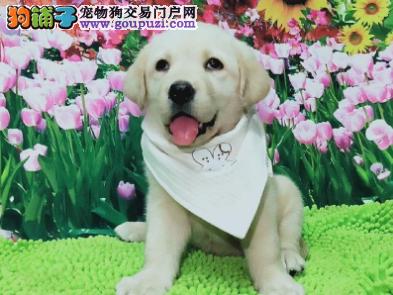 自家直销拉布拉多犬宝宝/CKU认证品质绝对保证
