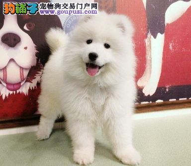 自家直销听话的萨摩犬宝宝/CKU认证品质绝对保证