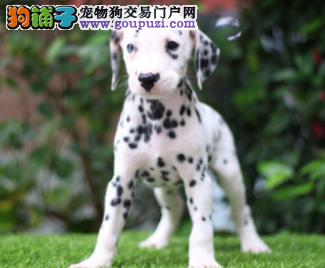 自家直销斑点犬宝宝/CKU认证品质绝对保证3