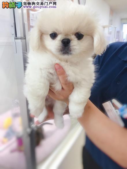专注于培育中高端宠物基地 纯种京巴幼犬待售