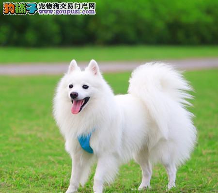 专注于培育中高端宠物基地 纯种银狐幼犬待售