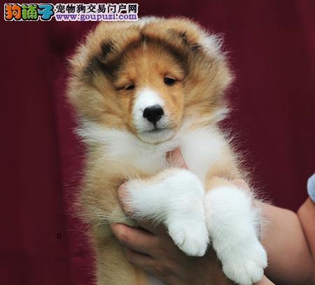 专注于培育中高端宠物基地 纯种喜乐蒂幼犬待售