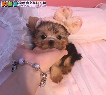 专注于培育中高端宠物基地 纯种约克夏幼犬待售