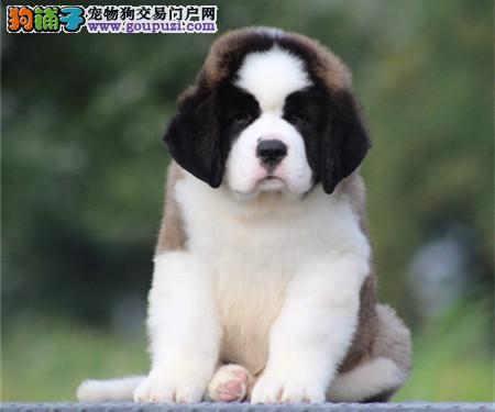 专注于培育中高端宠物基地 纯种圣伯纳幼犬待售