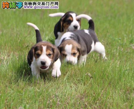 专注于培育中高端宠物基地 纯种比格幼犬待售
