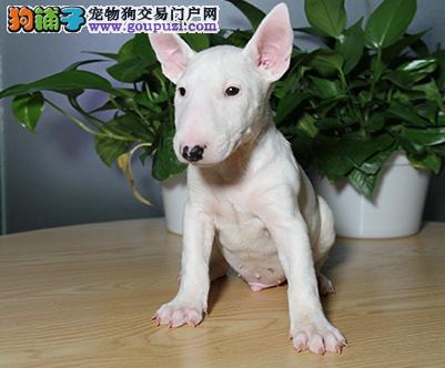 专注于培育中高端宠物基地 纯种牛头梗幼犬待售