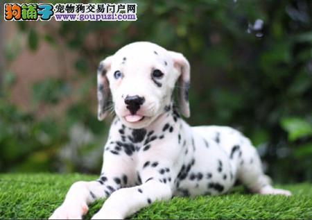 专注于培育中高端宠物基地 纯种斑点幼犬待售