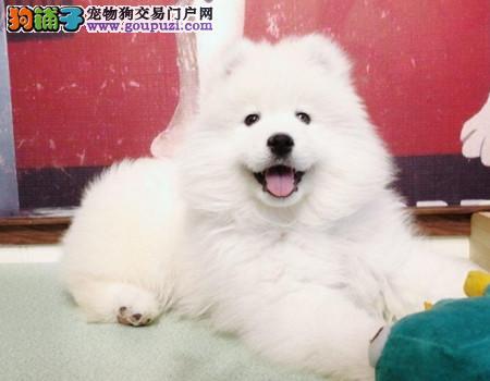 专注于培育中高端宠物基地 纯种萨摩耶幼犬待售