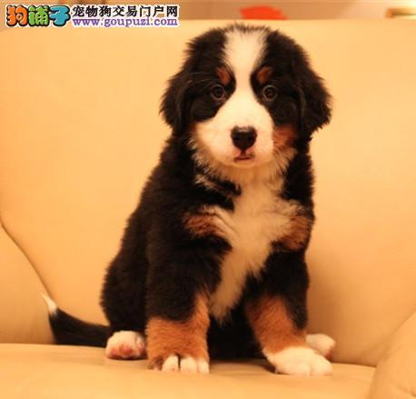 专注于培育中高端宠物基地 纯种伯恩山幼犬待售